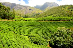 Image result for Tea Plantation 300 x 200