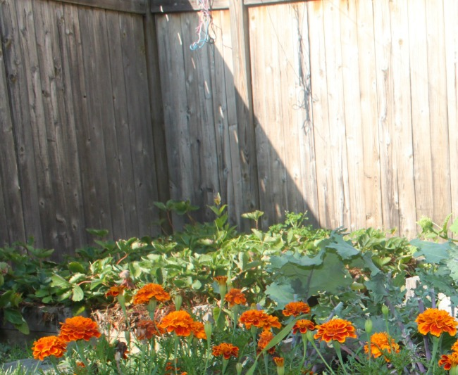 See What's Growing In Our Garden (Kale Recipe)