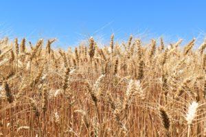 wheat-1900464_1280